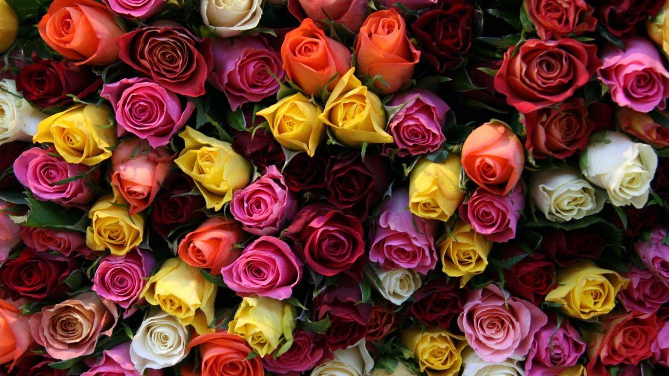 Фото бесплатно розы, разного цвета, бутоны - на рабочий стол