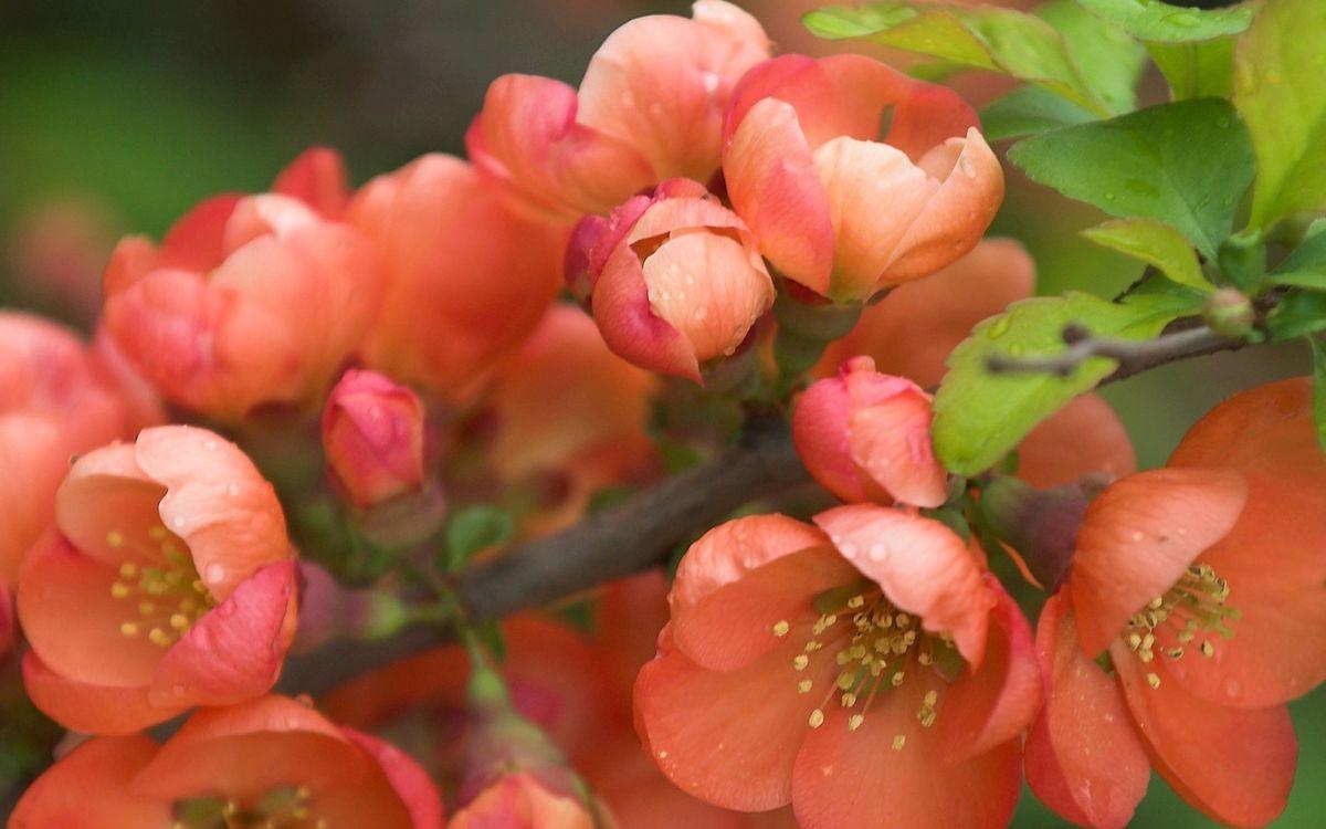 Обои цветки, лепестки, розовые, ветка, дерево, весна, лето, тепло, листья, цветы на телефон | картинки цветы