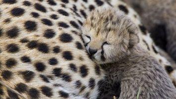 Бесплатные фото котенок,гепард,прижался,к матери,отдыхает,спит,кошки