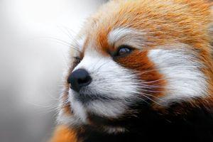 Бесплатные фото красная панда,моська,взгляд,животные