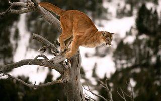 Заставки хищник, пума, дерево, прыжок