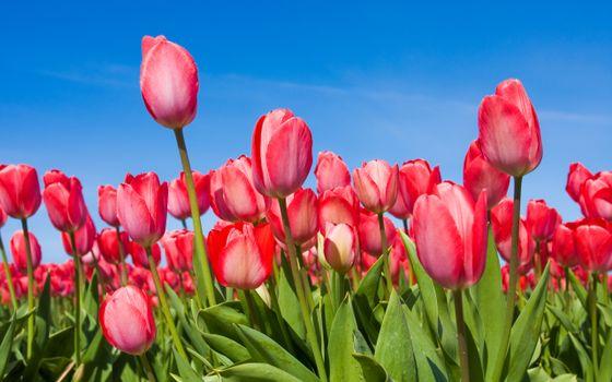 Бесплатные фото весна,небо,tulips,бутоны,тюльпаны,цветы