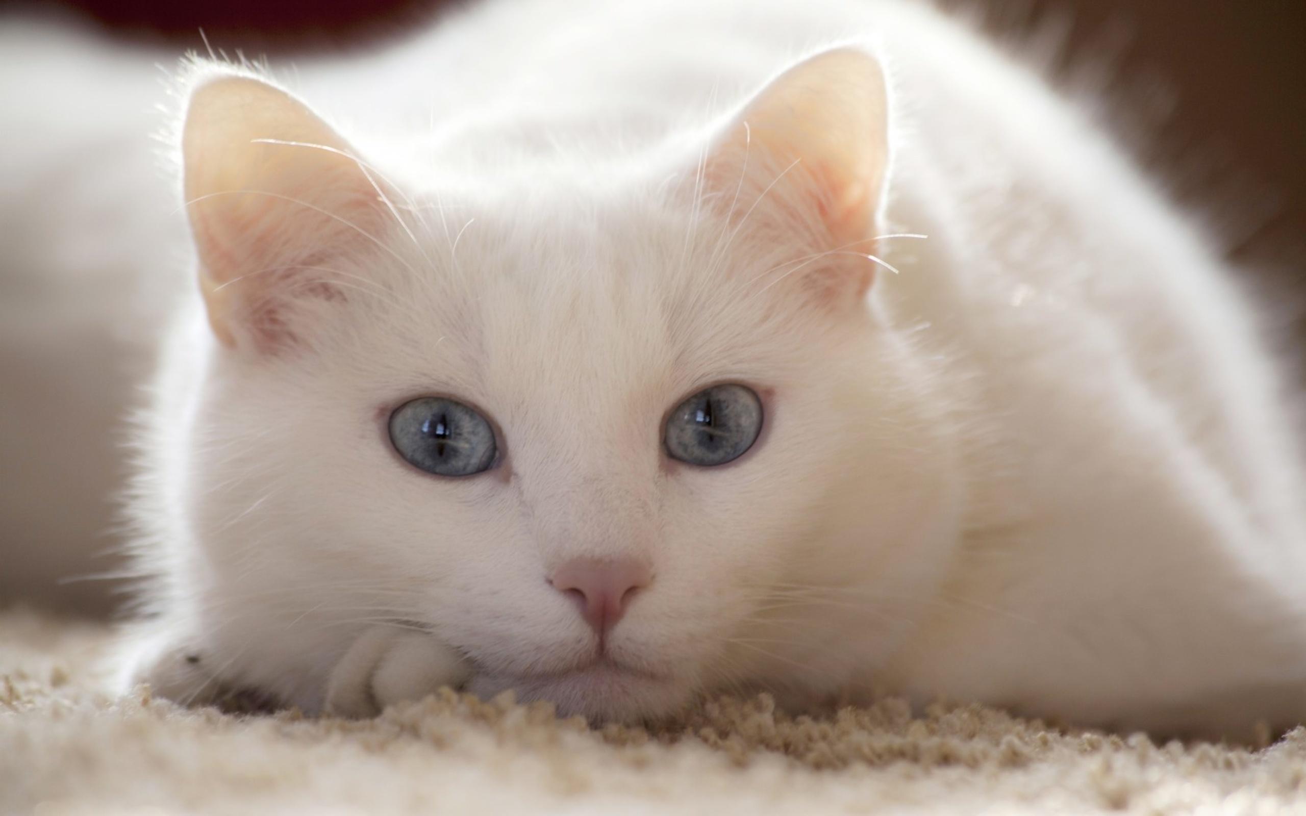 белый, кот, голубые
