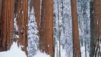 Фото бесплатно деревья, лес, снег