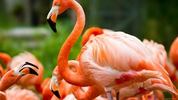 Photo free flamingo, neck, head