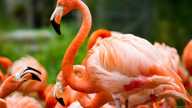 Заставки фламинго, шея, голова