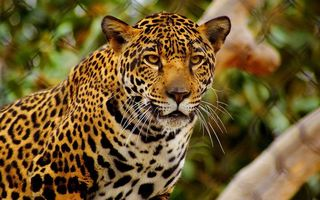 Заставки леопард, взгляд, глаза