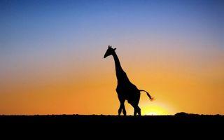 Photo free giraffe, desert, sky
