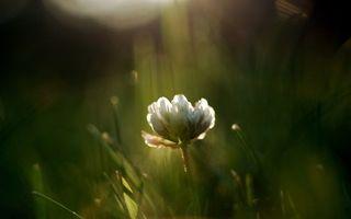 Заставки клевер, цветок, листья, трава, лепестки, маленький, белый, цветы