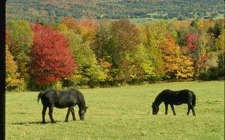 Бесплатные фото кони,черные,гривы,хвосты,пастбище,трава,деревья