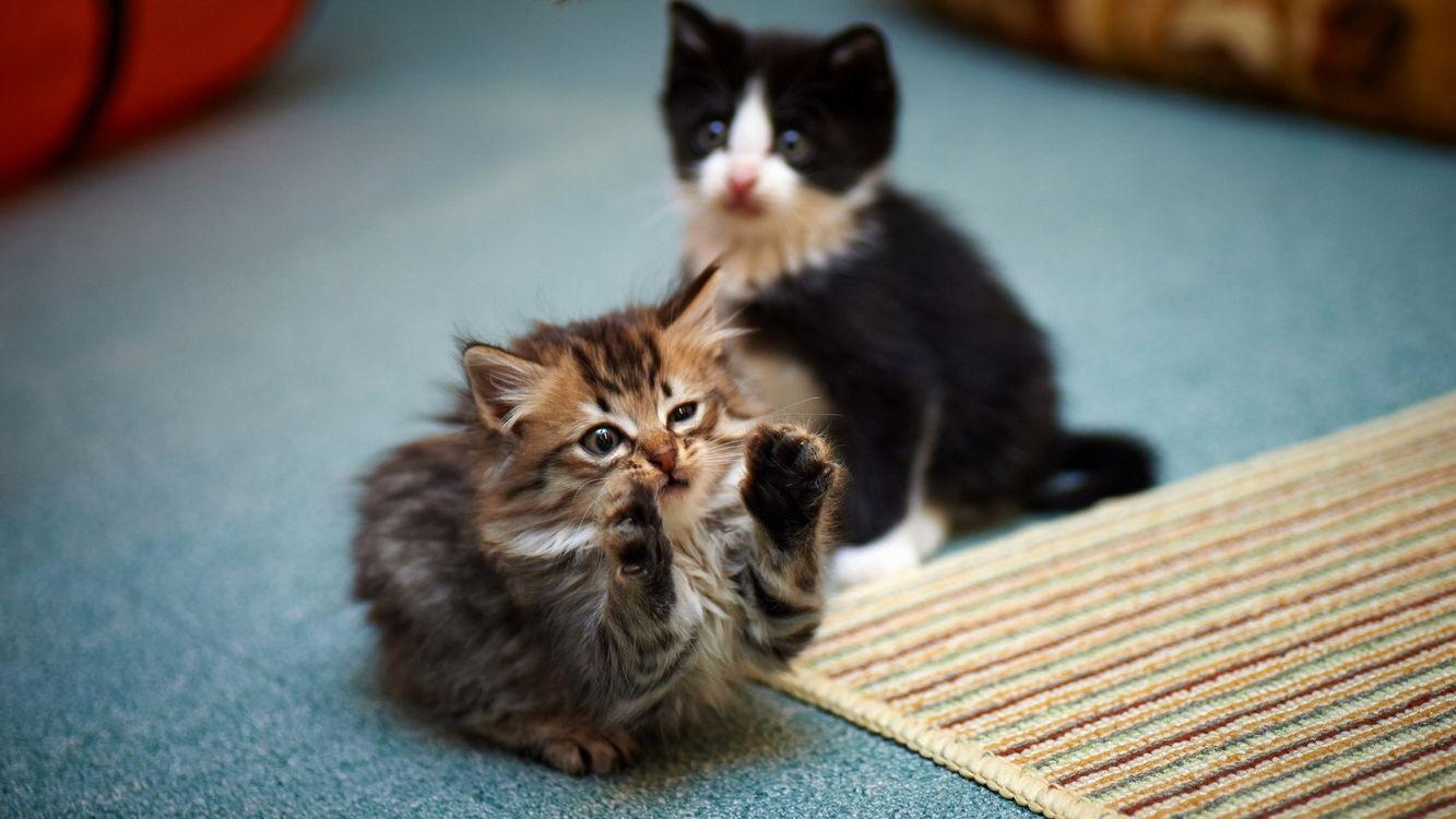 Фото бесплатно котята, игра, морды, лапы, шерсть, палас, кошки - на рабочий стол