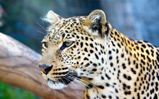 Фото бесплатно пятнистый леопард, коряга, взгляд