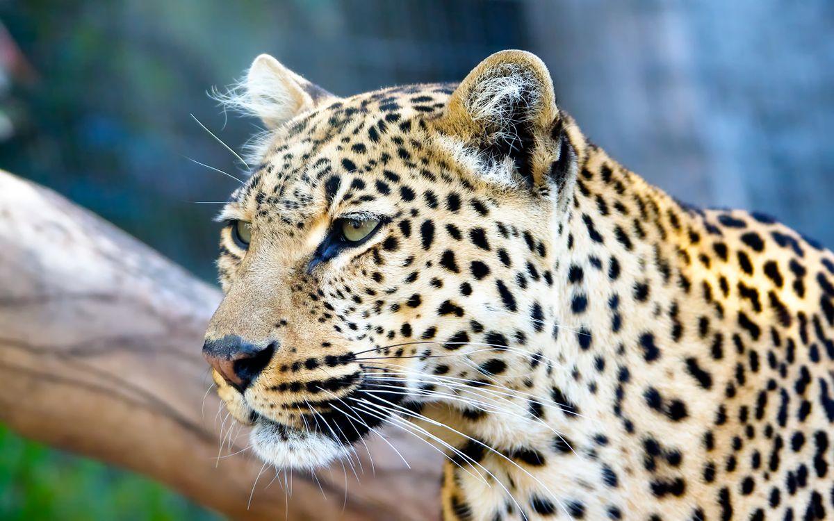 Фото бесплатно пятнистый леопард, коряга, взгляд, животные, животные
