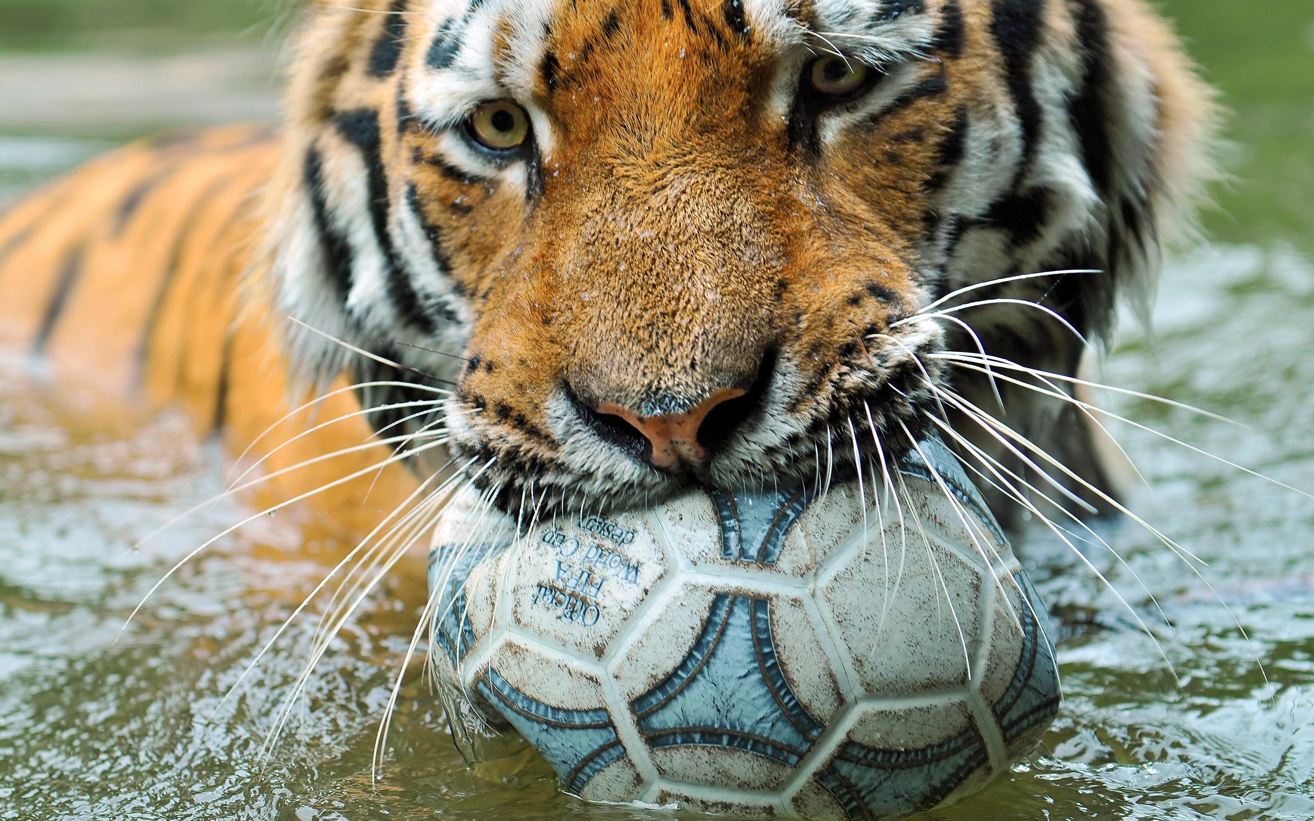 тигр, усы, пасть