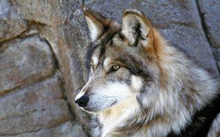 Бесплатные фото волк, взгляд, каменная стена, животные