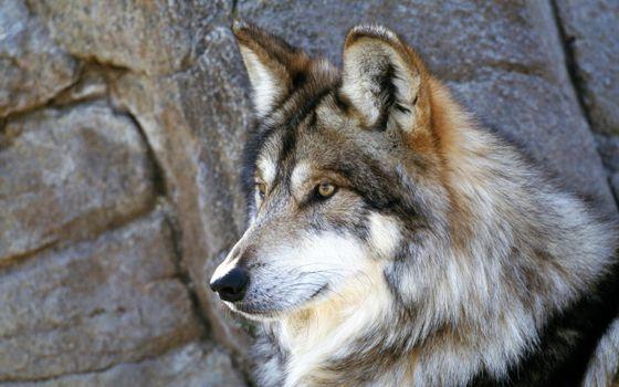 Фото бесплатно волк, взгляд, каменная стена