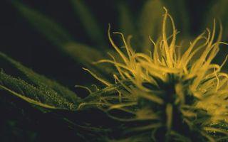 Бесплатные фото конопля,марихуана,листки