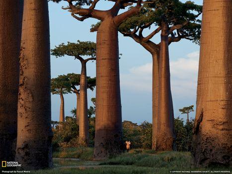 Photo free baobab, man, foliage