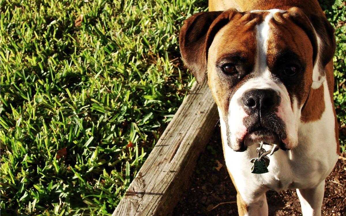 Фото бесплатно боксер, пес, щенок - на рабочий стол
