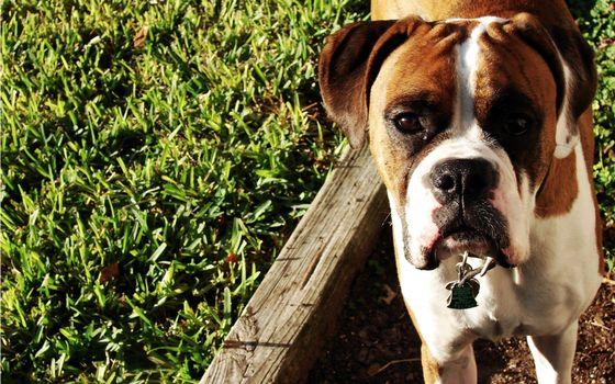 Фото бесплатно боксер, пес, щенок