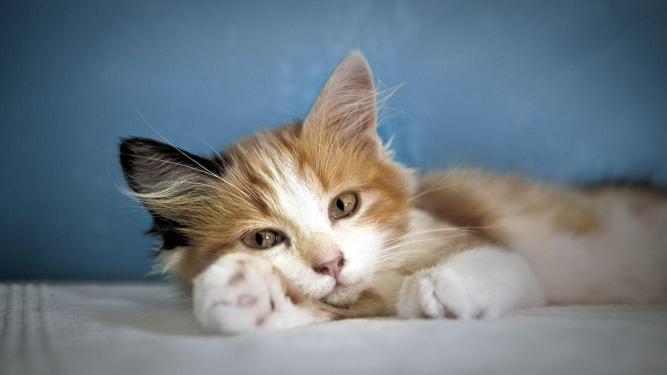 Фото бесплатно кот, котенок, маленький, шерсть, уши, усы, нос, рот, глаза, лапы, пальчики, лежит, кровать, кошки, кошки