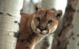 Photo free puma, beast, wild