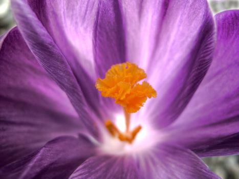 Бесплатные фото цветок,лепестки,тычинка,сердцевинка,стебель,клумба,лето,фиолетовый,макро,цветы