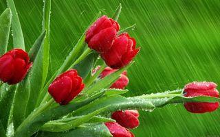 Фото бесплатно цветы, красный, дождь