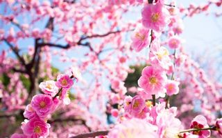 Заставки ветки,дерево,куст,цветки,весна,цветение,розовые