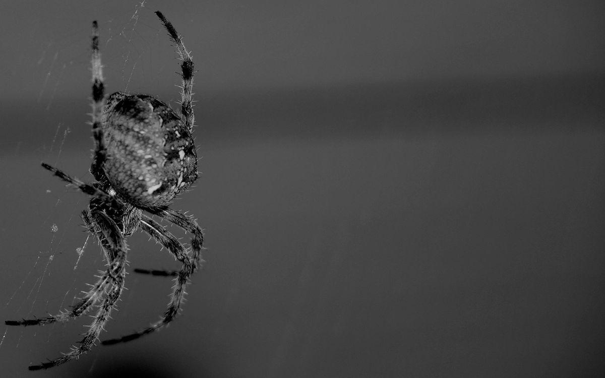 Фото тhe spider паук черно-белый - бесплатные картинки на Fonwall