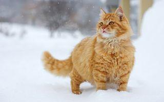 Бесплатные фото рыжий,кот,снег