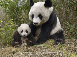 Заставки панда, природа, трава