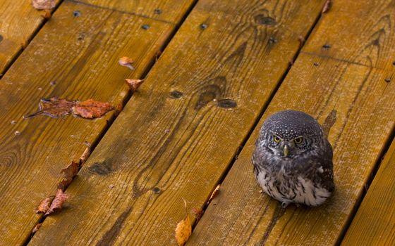 Фото бесплатно филин, птенец, осень