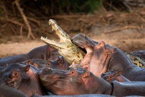 Бесплатные фото африка,крокодил,бегемот,атака,нападение,речка,животные