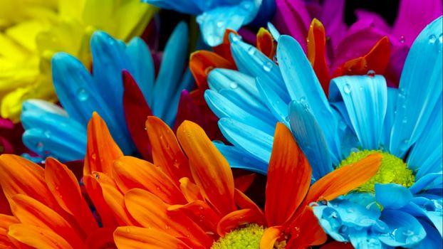 Бесплатные фото герберы,лепестки,цветки,голубые,красные,букет,цветы