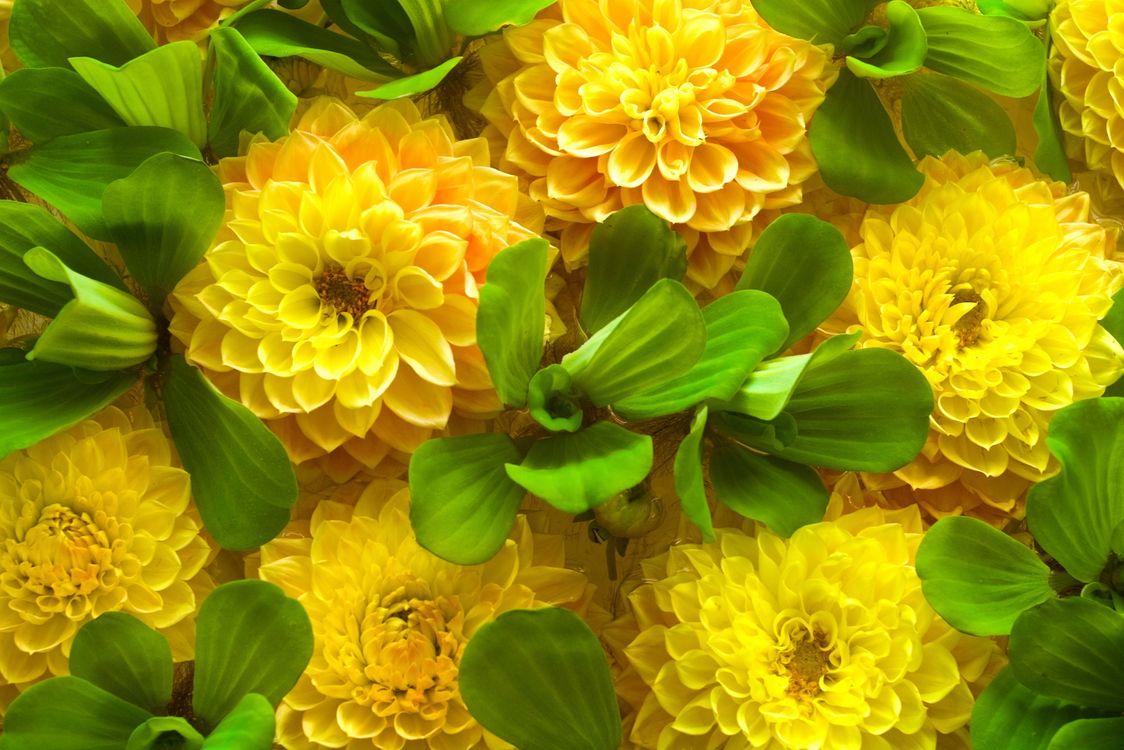 Фото бесплатно хризантемы, желтые, лепестки - на рабочий стол