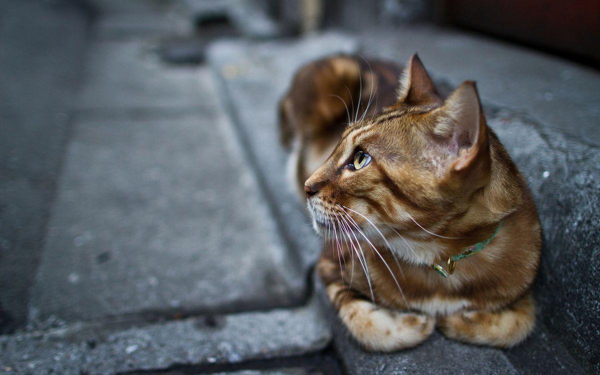 Фото бесплатно кот, рыжий, ошейник, тротуар, поребрик, кошки, кошки