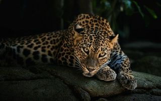 Photo free leopard on stone, predator, view