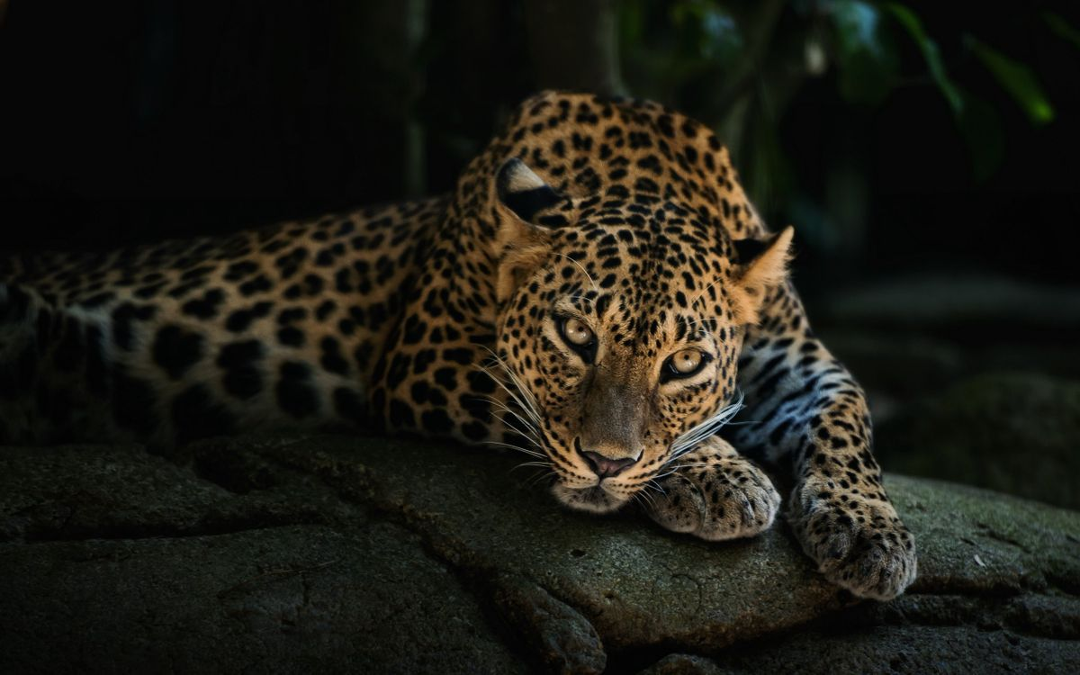 Free photo leopard on stone, predator, view - to desktop