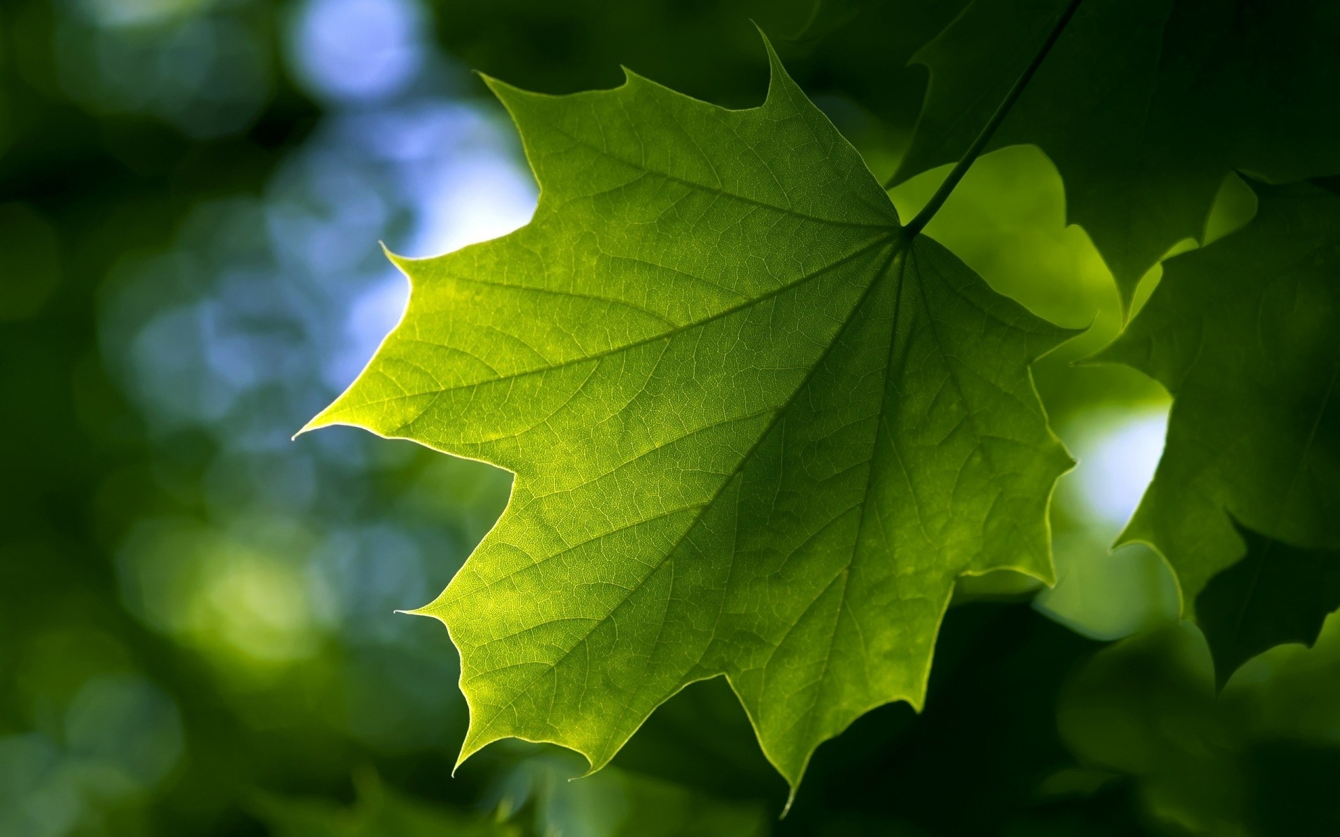лист, зеленый, прожилки