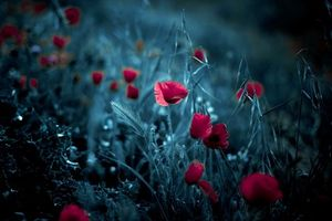 Photo free poppies, meadow, flowerbed