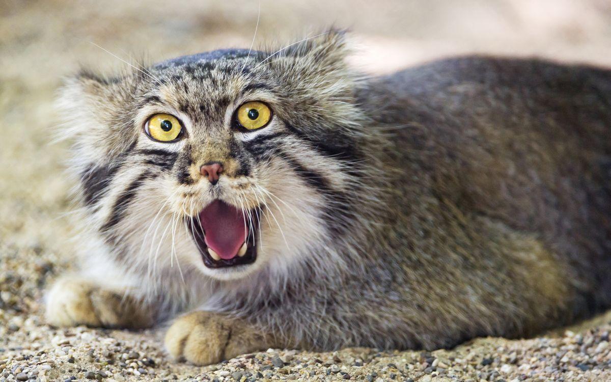 Фото бесплатно манул, дикий, кот, глаза, желтые, оскал, морда, шерсть, кошки, кошки