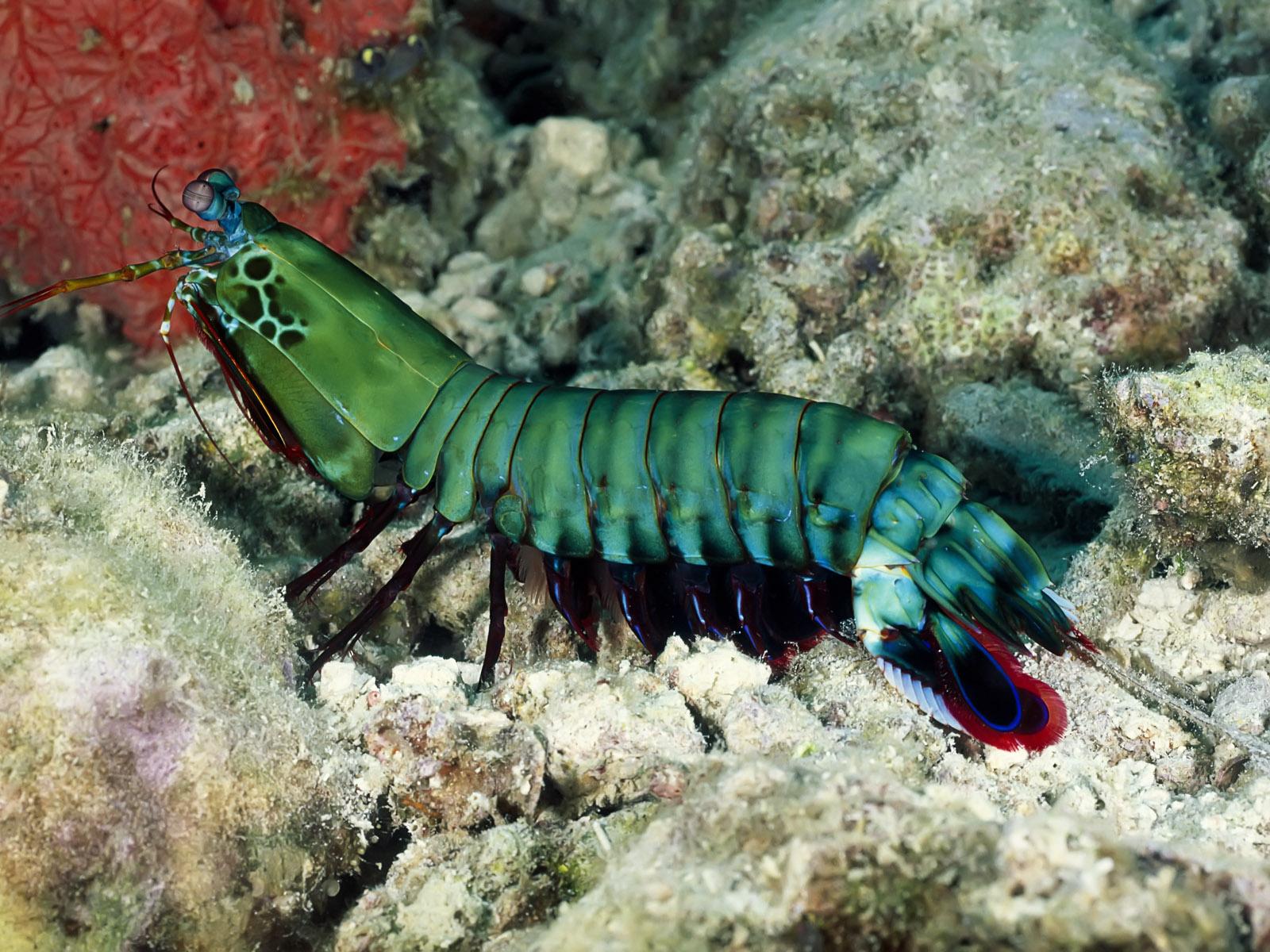 морской, рак-богомол, зеленый