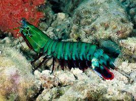 Бесплатные фото морской, рак-богомол, зеленый, панцирь, лапки, дно, подводный мир