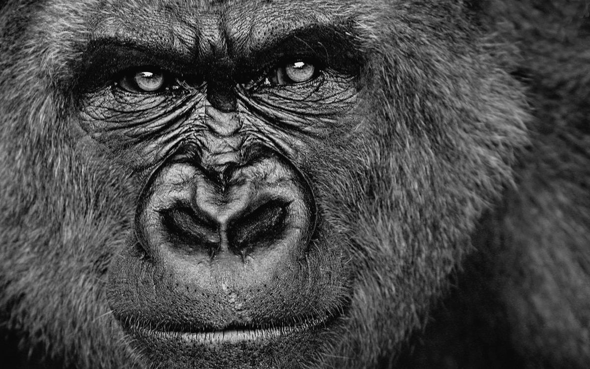 Photos for free monkey, nose, eyes - to the desktop