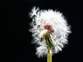 Фото бесплатно цветы, стебель, одуванчик