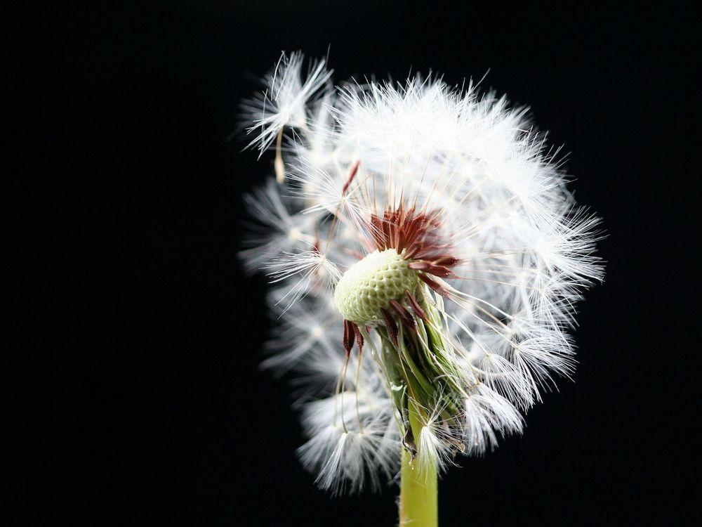 Обои одуванчик, белый, семена, пух, стебель, зеленый, цветы на телефон | картинки цветы