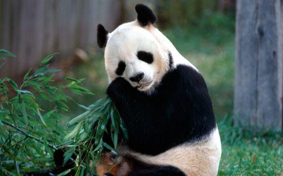 Фото бесплатно панда, зверь, дикий