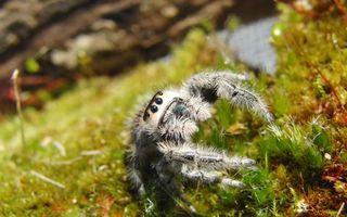 Бесплатные фото паук,глаза,тарантул,лапы,хищник,зелень,мох