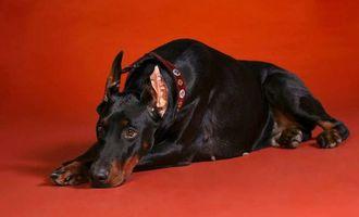 Фото бесплатно доберман, пес, лежит
